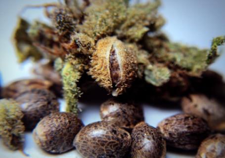 autoflower zaden