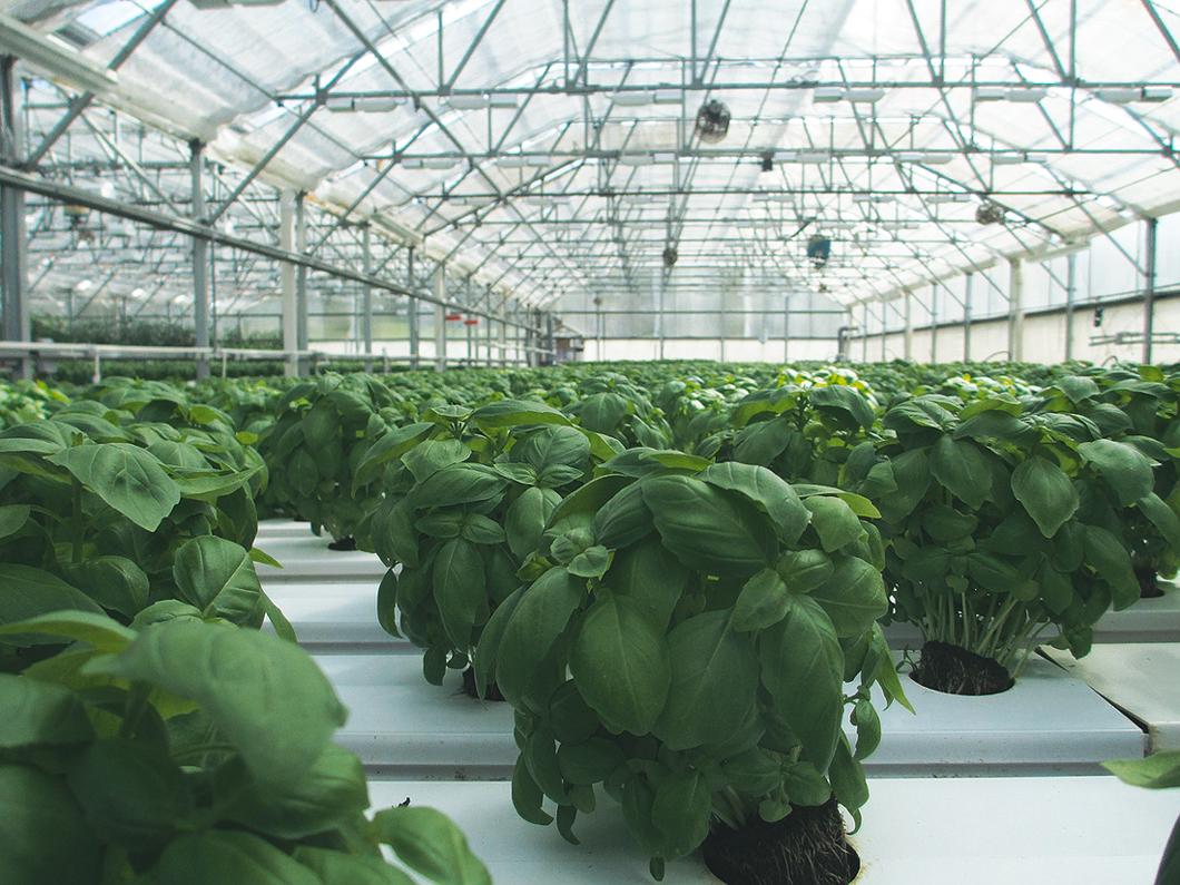 basilicum plantage - de toekomst van legale wiet teelt