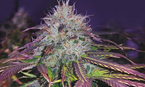 paarse wietplant