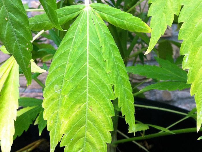 Overbewaterde wietplant met zware, gele bladeren